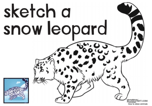 Sketch a Snow Leopard thanks to Marwell Zoo