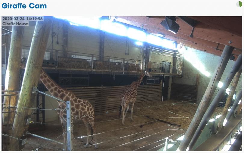 Marwell Zoo Giraffe Cam