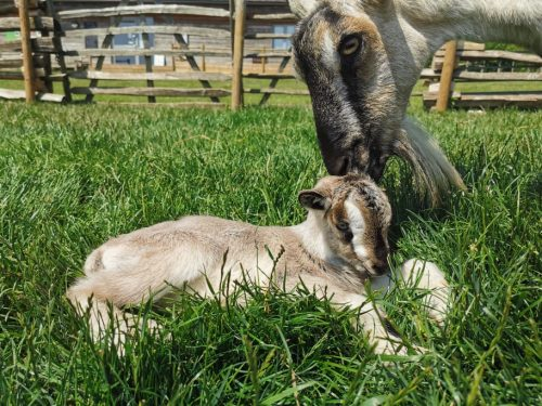 Visit the baby goats at Butser Ancient Farm
